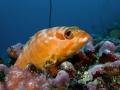 Black-Tip-Grouper-Carpe-Vita-Explorer-Maldives-Explorer-Ventures-Liveaboard-Diving