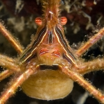 Arrow-crab-closeup-St-Kitts-Caribbean-Explorer-2-Explorer-Ventures-Liveaboard-Diving