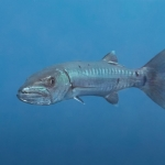Barracuda-St-Kitts-Caribbean-Explorer-2-Explorer-Ventures-Liveaboard-Diving