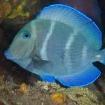 Blue-tang-Saba-Caribbean-Explorer-2-Explorer-Ventures-Liveaboard-Diving