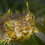Burr-fish-St-Kitts-Caribbean-Explorer-2-Explorer-Ventures-Liveaboard-Diving