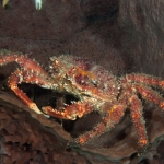 Channel-clinging-crab-Saba-Caribbean-Explorer-2-Explorer-Ventures-Liveaboard-Diving
