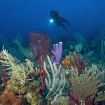 Coral-and-diver-Saba-Caribbean-Explorer-2-Explorer-Ventures-Liveaboard-Diving