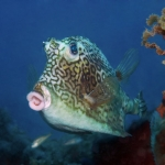 Cow-fish-St-Kitts-Caribbean-Explorer-2-Explorer-Ventures
