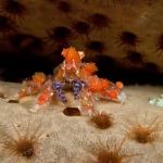 Cryptic-teardrop-crab-Saba-Caribbean-Explorer-2-Explorer-Ventures-Liveaboard-Diving