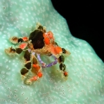 Cryptic-teardrop-crab-black-spots-St-Kitts-Caribbean-Explorer-2-Explorer-Ventures-Liveaboard-Diving