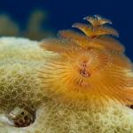 Feather-Duster-St-Kitts-Caribbean-Explorer-2-Explorer-Ventures-Liveaboard-Diving
