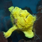 Frog-fish-face-St-Kitts-Caribbean-Explorer-2-Explorer-Ventures-Liveaboard-Diving
