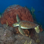 Green-Turtle-Saba-Caribbean-Explorer-2-Explorer-Ventures-Liveaboard-Diving