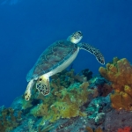 Green-Turtle-backside-Saba-Caribbean-Explorer-2-Explorer-Ventures-Liveaboard-Diving