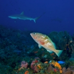 Hind-and-shark-Saba-Caribbean-Explorer-2-Explorer-Ventures-Liveaboard-Diving