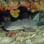 Nurse-shark-Saba-Caribbean-Explorer-2-Explorer-Ventures-Liveaboard-Diving