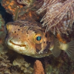 Porcupine-fish-St-Kitts-Caribbean-Explorer-2-Explorer-Ventures-Liveaboard-Diving