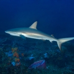 Reef-Shark-Saba-Caribbean-Explorer-2-Explorer-Ventures-Liveaboard-Diving