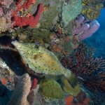 Scrawled-filefish-Saba-Caribbean-Explorer-2-Explorer-Ventures-Liveaboard-Diving