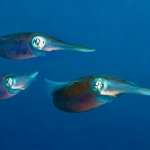 Squid-St-Kitts-Caribbean-Explorer-2-Explorer-Ventures-Liveaboard-Diving