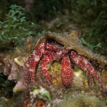 Whitespeckled-hermit-Crab-Saba-Caribbean-Explorer-2-Explorer-Ventures-Liveaboard-Diving