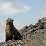 Galapagos-Fur-Seal-Humboldt-Explorer-Galapagos-Explorer-Ventures-Liveaboard-Diving