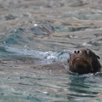 Galapagos-Sea-Lion-swimming-on-surface-Humboldt-Explorer-Galapagos-Explorer-Ventures-Liveaboard-Diving