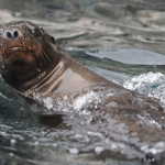 Galapagos-Sea-Lion-swimming-on-surface-on-back-Humboldt-Explorer-Galapagos-Explorer-Ventures-Liveaboard-Diving