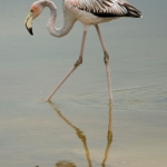 Galapagos-flamingo-Humboldt-Explorer-Galapagos-Explorer-Ventures-Liveaboard-Diving