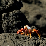 Sally-Lightfoot-crab-Humboldt-Explorer-Galapagos-Explorer-Ventures-Liveaboard-Diving