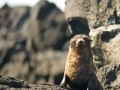 Galapagos-Fur-Seal-on-rocks-Humboldt-Explorer-Galapagos-Explorer-Ventures-Liveaboard-Diving