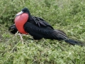 Giant-Frigate-Bird-Humboldt-Explorer-Galapagos-Explorer-Ventures-Liveaboard-Diving