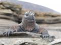 Land-Iguana-Humboldt-Explorer-Galapagos-Explorer-Ventures-Liveaboard-Diving