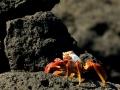 Sally-Lightfoot-crab-Humboldt-Explorer-Galapagos-Explorer-Ventures-Liveaboard-Diving
