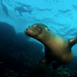 Galapagos-Sea-Lion-big-eyes-underwater-Humboldt-Explorer-Galapagos-Explorer-Ventures-Liveaboard-Diving
