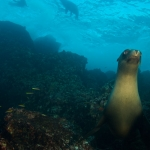 Galapagos-Sea-lion-underwater-Humboldt-Explorer-Explorer-Ventures-Liveaboard-Diving