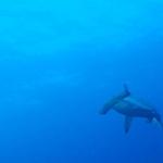 Hammerhead-face-Humboldt-Explorer-Galapagos-Explorer-Ventures-Liveaboard-Diving