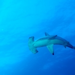 Hammerhead-turning-Humboldt-Explorer-Galapagos-Explorer-Ventures-Liveaboard-Diving