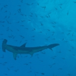 Hammerhead-underneath-Humboldt-Explorer-Galapagos-Explorer-Ventures-Liveaboard-Diving