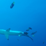 Hammerhead-with-fish-Humboldt-Explorer-Galapagos-Explorer-Ventures-Liveaboard-Diving