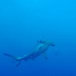 Hammerhead2-Humboldt-Explorer-Galapagos-Explorer-Ventures-Liveaboard-Diving