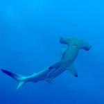Hammerhead3-Humboldt-Explorer-Galapagos-Explorer-Ventures-Liveaboard-Diving
