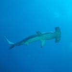 Hammerhead4-Humboldt-Explorer-Galapagos-Explorer-Ventures-Liveaboard-Diving