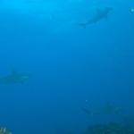 Hammerheads-Humboldt-Explorer-Galapagos-Explorer-Ventures-Liveaboard-Diving