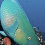 Parrotfish-Humboldt-Explorer-Galapagos-Explorer-Ventures-Liveaboard-Diving