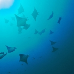 School-of-Manta-rays-Humboldt-Explorer-Galapagos-Explorer-Ventures-Liveaboard-Diving