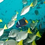 School-of-fish-Humboldt-Explorer-Galapagos-Explorer-Ventures-Liveaboard-Diving