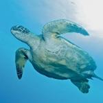 Turtle-underside-Humboldt-Explorer-Galapagos-Explorer-Ventures-Liveaboard-Diving