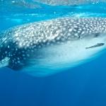 Whaleshark-Eye-Humboldt-Explorer-Galapagos-Explorer-Ventures-Liveaboard-Diving