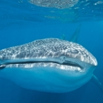 Whaleshark-face-Humboldt-Explorer-Galapagos-Explorer-Ventures-Liveaboard-Diving