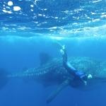 Whaleshark-freediver-Humboldt-Explorer-Galapagos-Explorer-Ventures-Liveaboard-Diving