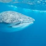 Whaleshark-sideview-Humboldt-Explorer-Galapagos-Explorer-Ventures-Liveaboard-Diving