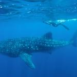 Whaleshark-snorkeler-Humboldt-Explorer-Galapagos-Explorer-Ventures-Liveaboard-Diving