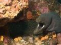 Fine-spotted-moray-eel-Humboldt-Explorer-Galapagos-Explorer-Ventures-Liveaboard-Diving